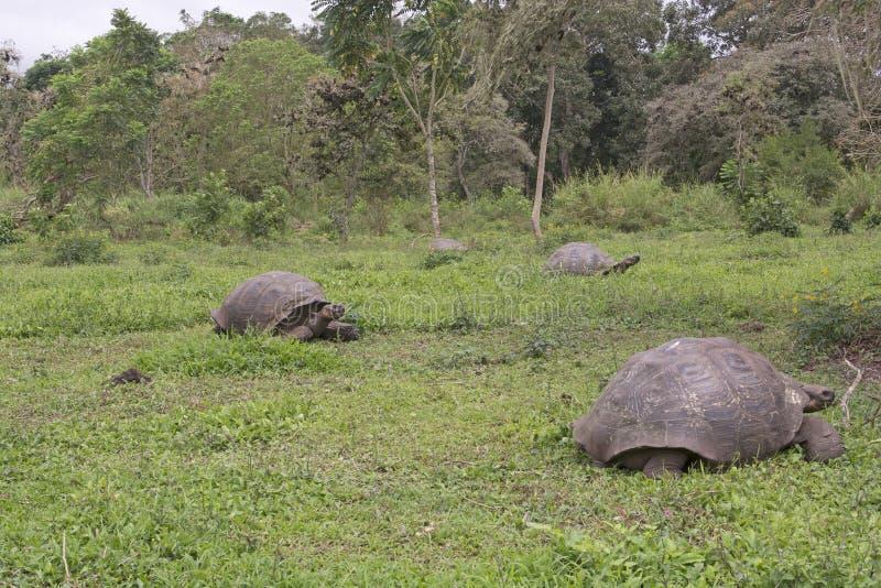 在领域的加拉帕戈斯巨型草龟 免版税图库摄影