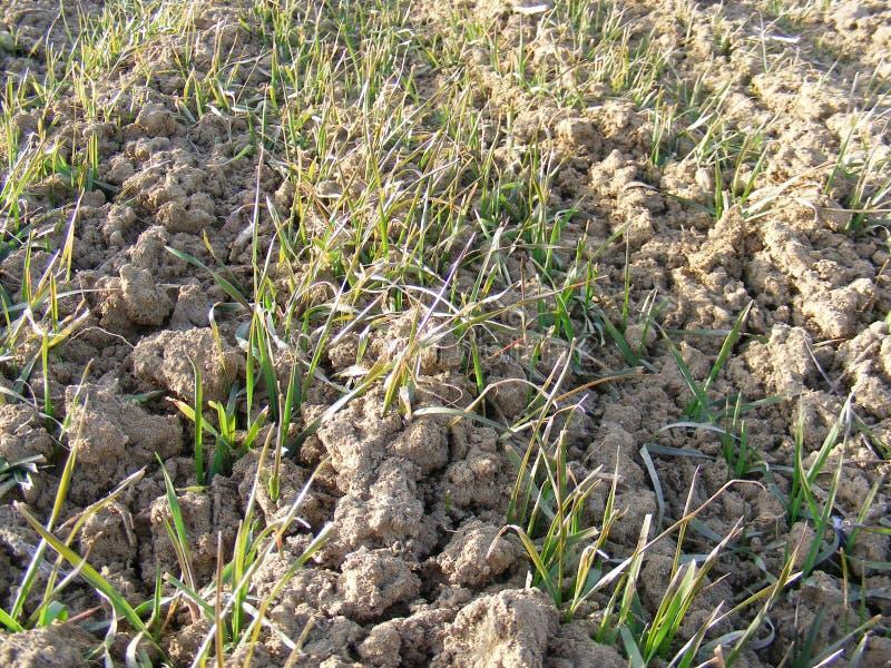 在领域的发芽的麦子新芽 库存照片