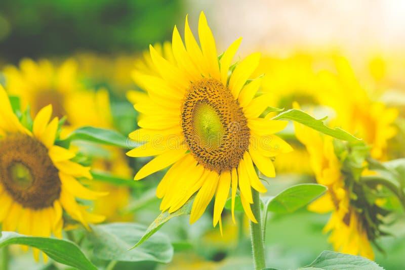 在领域的向日葵与阳光早晨