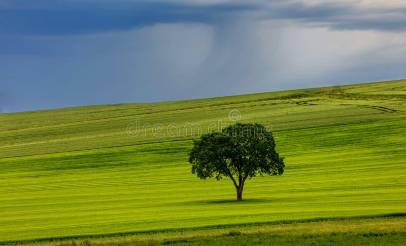 在领域的唯一树 免版税库存照片