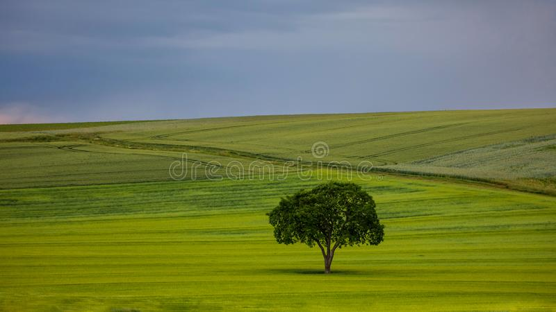 在领域的唯一树 库存照片