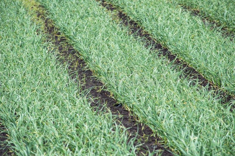 在领域的增长的大蒜与空间 农厂菜 小树苗种植园 大蒜毒菌在庭院里 图库摄影