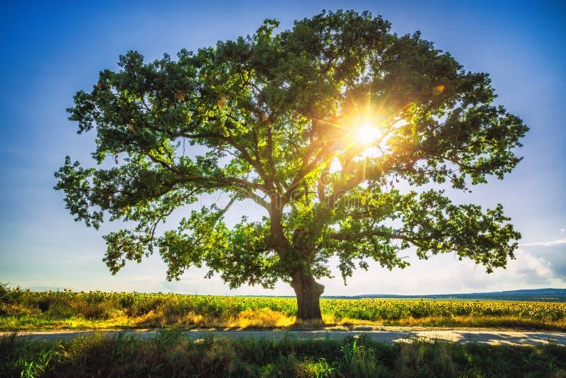 在领域的大绿色树, HDR 免版税库存图片