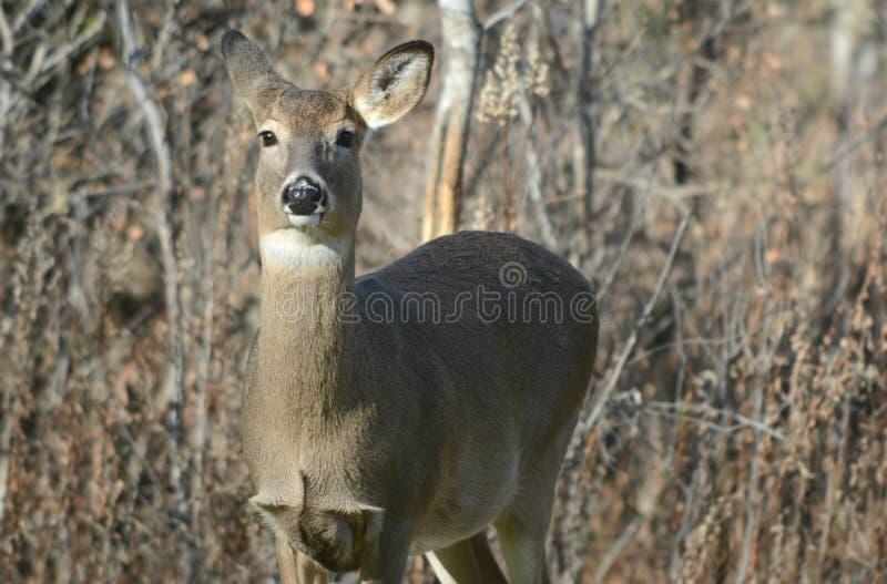 在领域的好奇白尾鹿母鹿 免版税库存图片