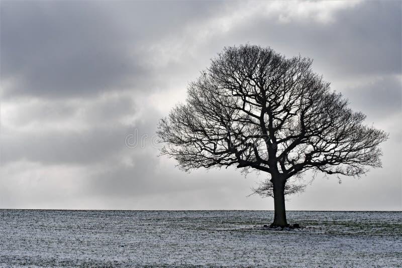 在领域的孤零零树,在小雪以后 库存图片