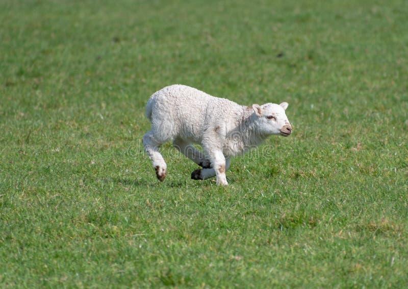 在领域的小羊羔. 羊毛, 空白.图片