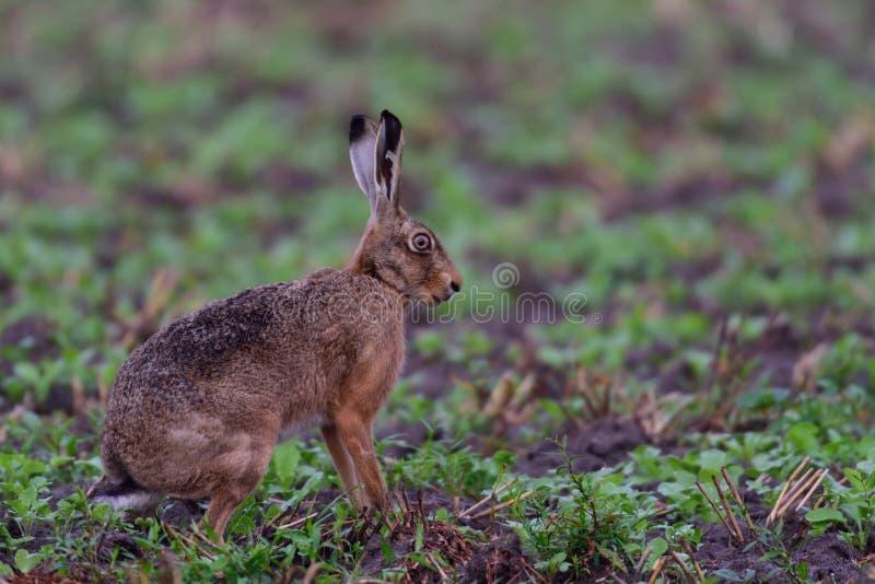 在领域的布朗野兔 库存图片