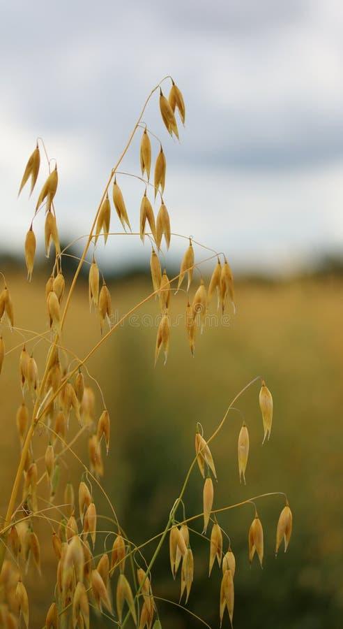 在领域的成熟燕麦 免版税库存图片