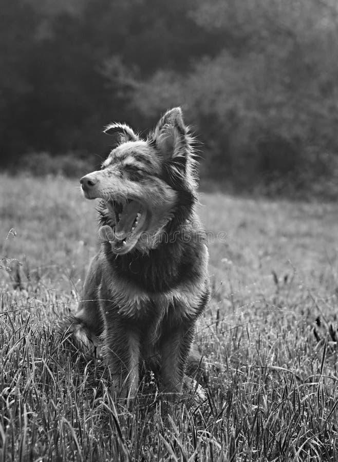 在领域的打呵欠的澳大利亚人谢泼德狗 库存照片