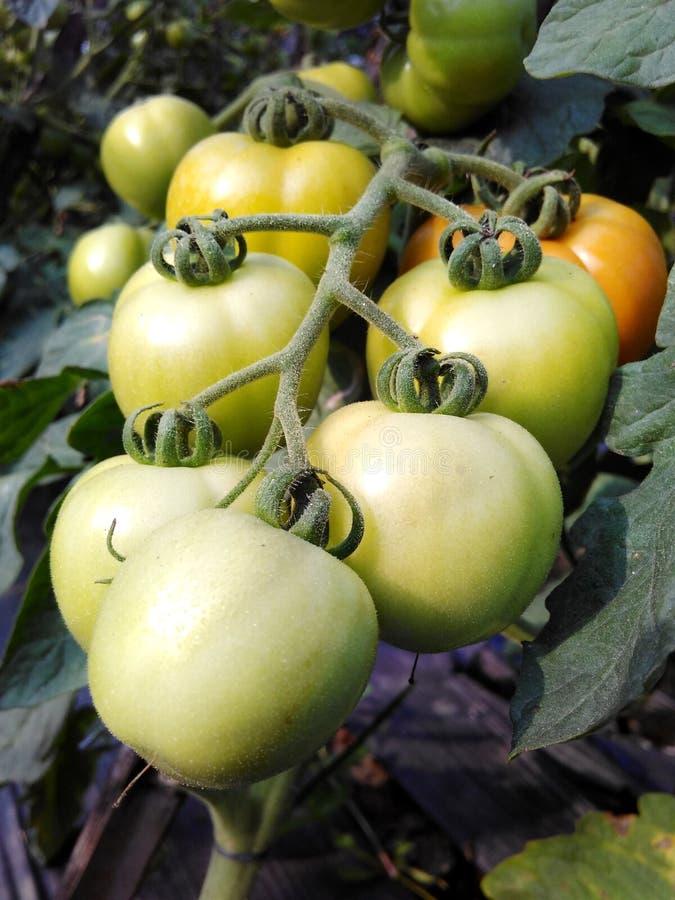 在领域的新鲜的成长蕃茄 免版税库存图片