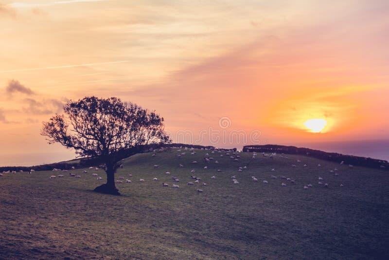 在领域的日落与在距离的绵羊 库存图片