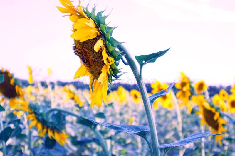 在领域的明亮的橙色向日葵,美丽的领域花,植物 免版税图库摄影
