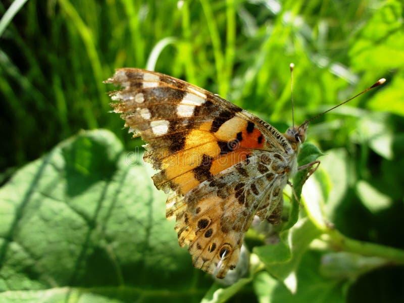 在领域的明亮的蝴蝶 免版税库存图片