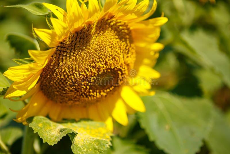 在领域的明亮的黄色,橙色向日葵花 免版税库存照片