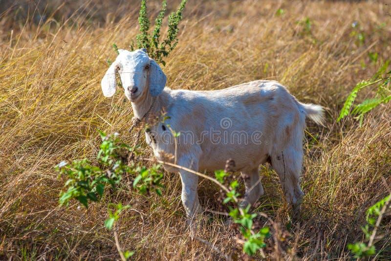 在领域的有角的动物 图库摄影