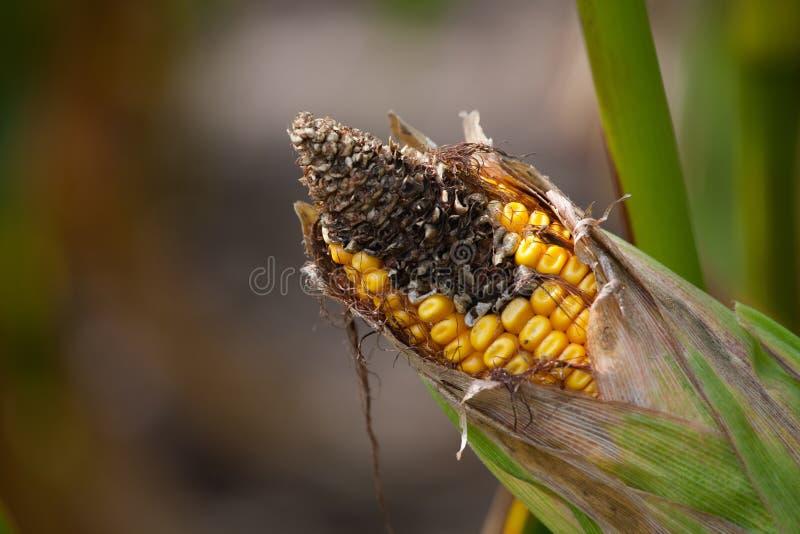 在领域的未成熟,害病和发霉的玉米棒子, 免版税库存图片