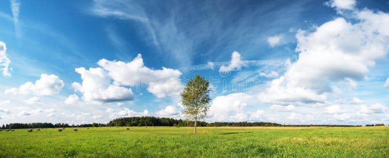 在领域的桦树 免版税图库摄影