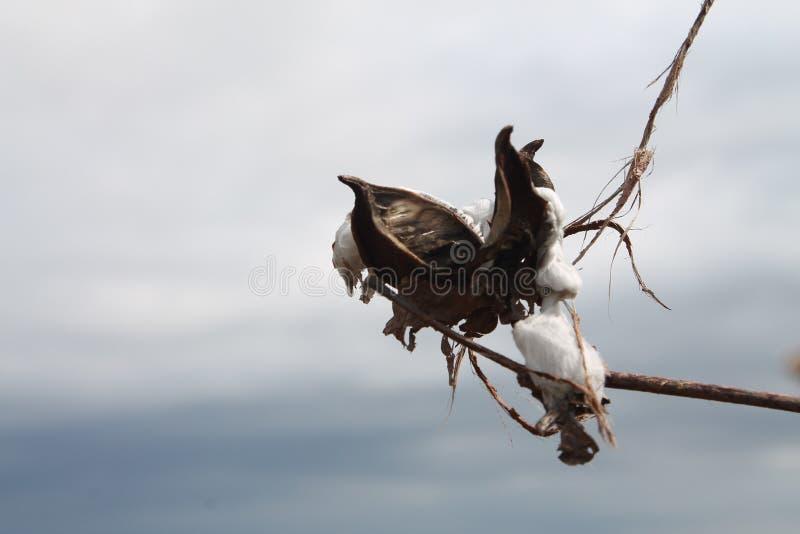 在领域的棉籽在密西西比 库存图片