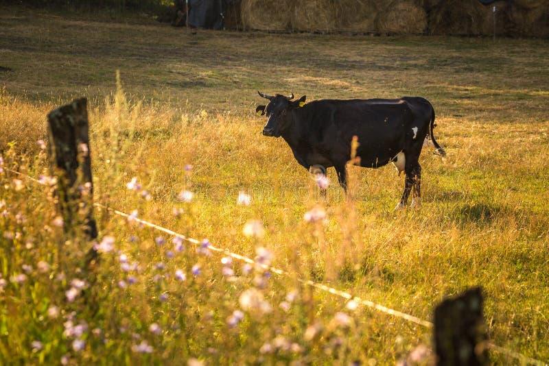 在领域的母牛,波兰农村风景,晚上金黄l 免版税库存图片