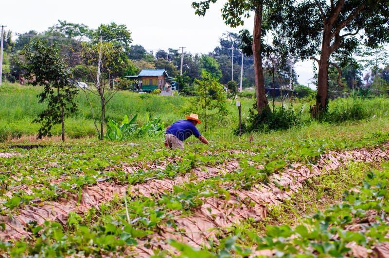 在领域的泰国种田的工作的草莓莓果 库存图片