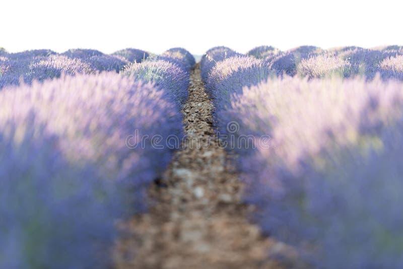 在领域的淡紫色面颊 库存照片