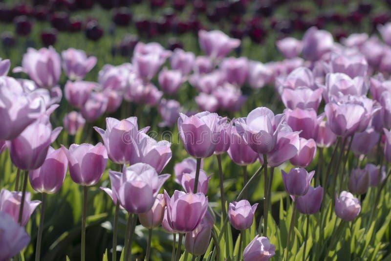 在领域的淡紫色郁金香 图库摄影