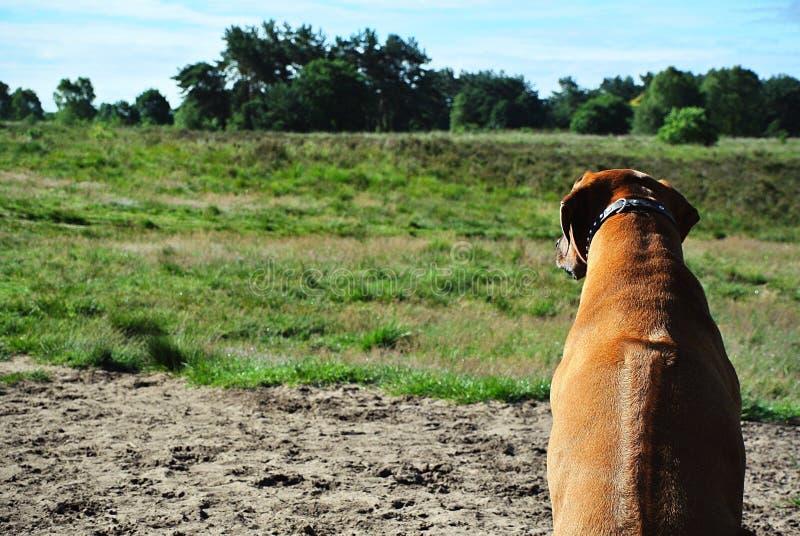 在领域的狗rhodesian ridgeback 库存照片