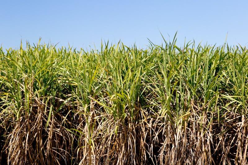 在领域的甘蔗庄稼准备好与蓝天的收获 免版税库存照片