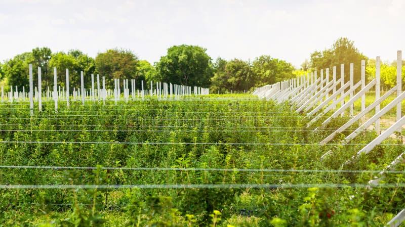 在领域的甚而行种植的无核小葡萄干灌木 生态果子种植园concpet 图库摄影