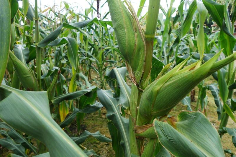在领域的甜玉米 库存图片