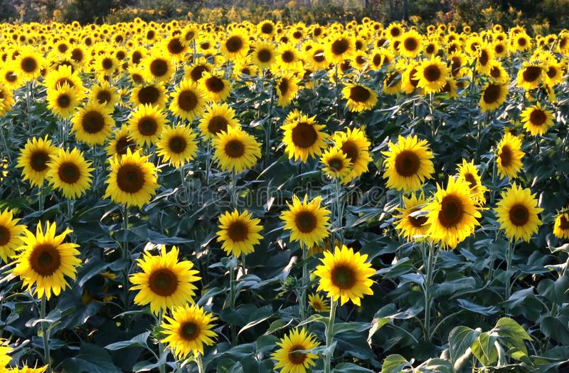 在领域的生长向日葵 免版税库存照片