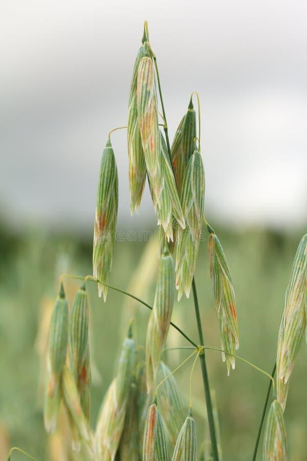 在领域的生长燕麦 免版税库存图片