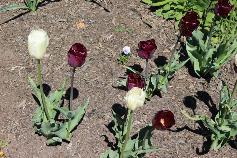 在领域的白色和紫色郁金香 免版税库存图片