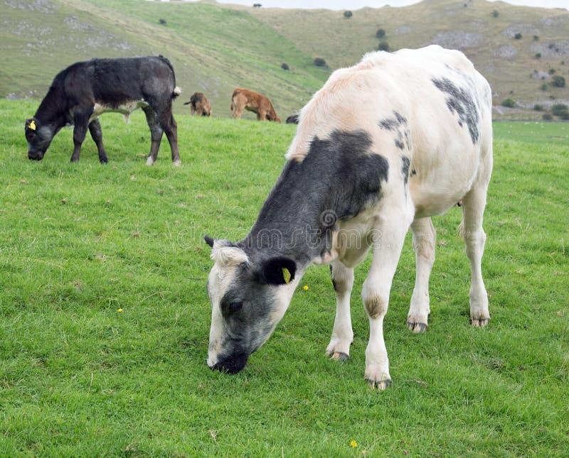 在领域的白色和黑和棕色母牛 库存照片