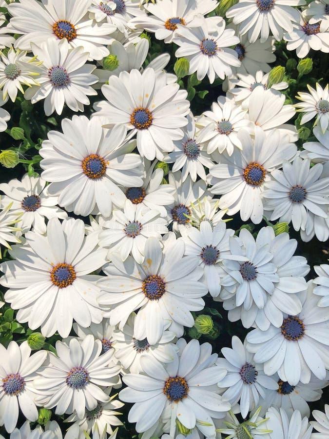 在领域的白色海角延命菊雏菊 库存图片
