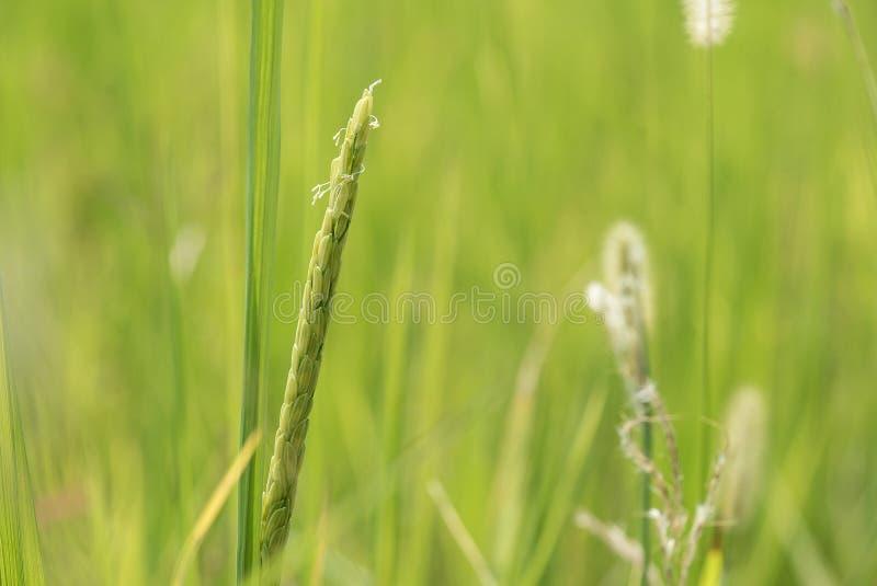 在领域的米 免版税库存照片