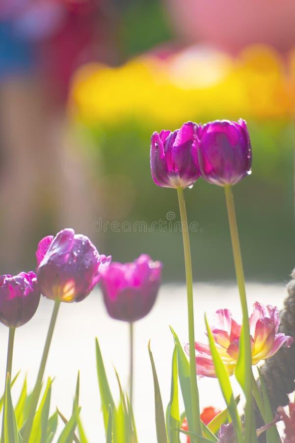 在领域的紫色或紫罗兰色郁金香在好日子 库存照片