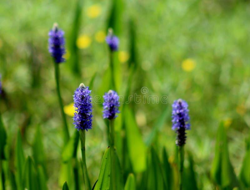 在领域的紫色野花 库存图片