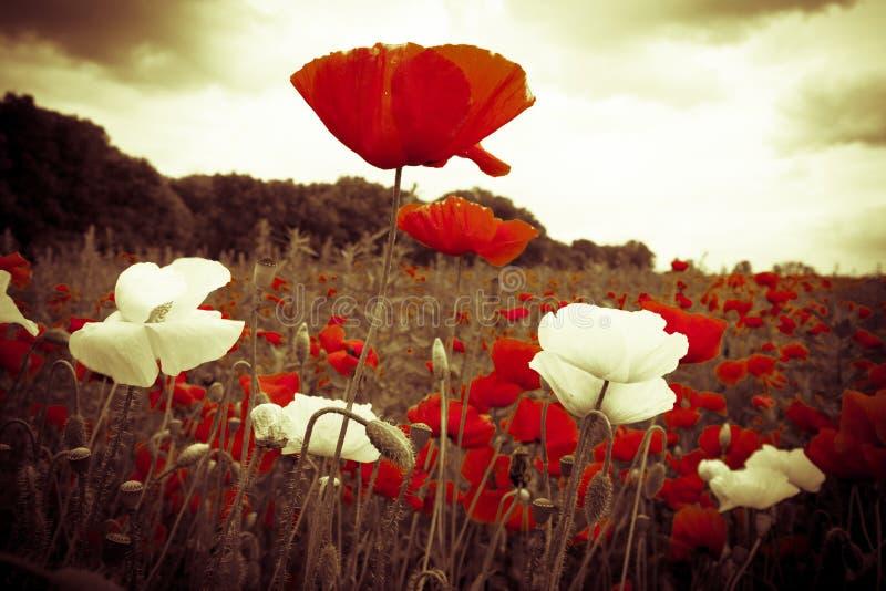 在领域的红色和白花在有启发性天空下 库存图片