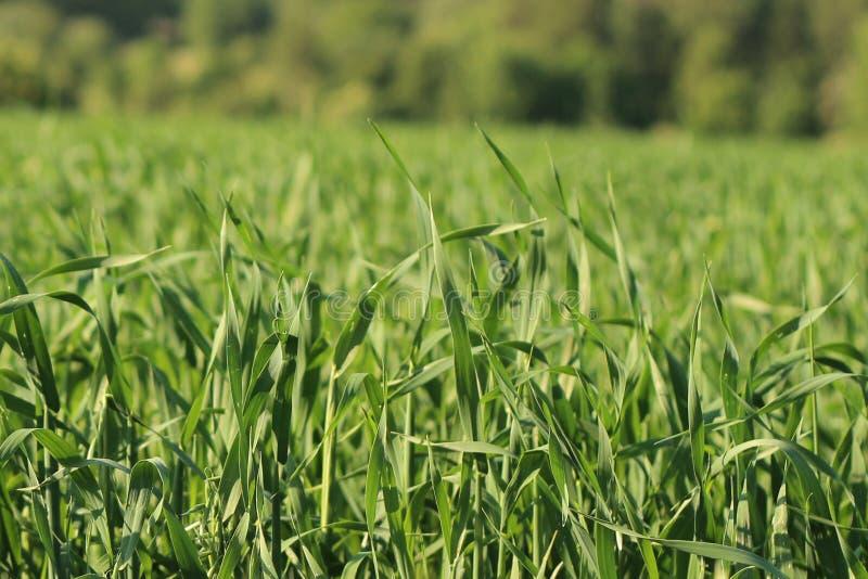 在领域的纯净的绿草 免版税图库摄影