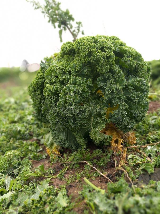 在领域的绿色无头甘蓝圆白菜 免版税库存图片