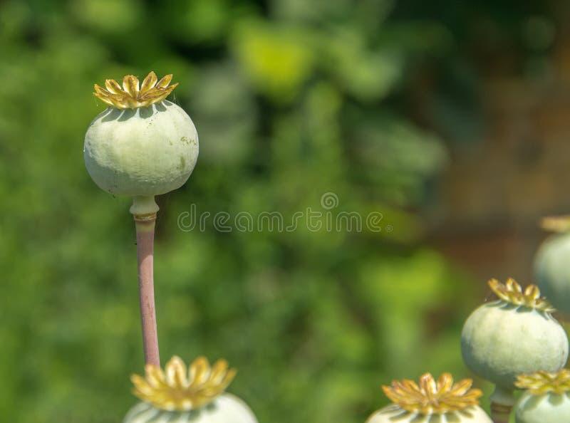 在领域的绿色未成熟的鸦片头 Imature鸦片植物特写镜头 免版税库存照片