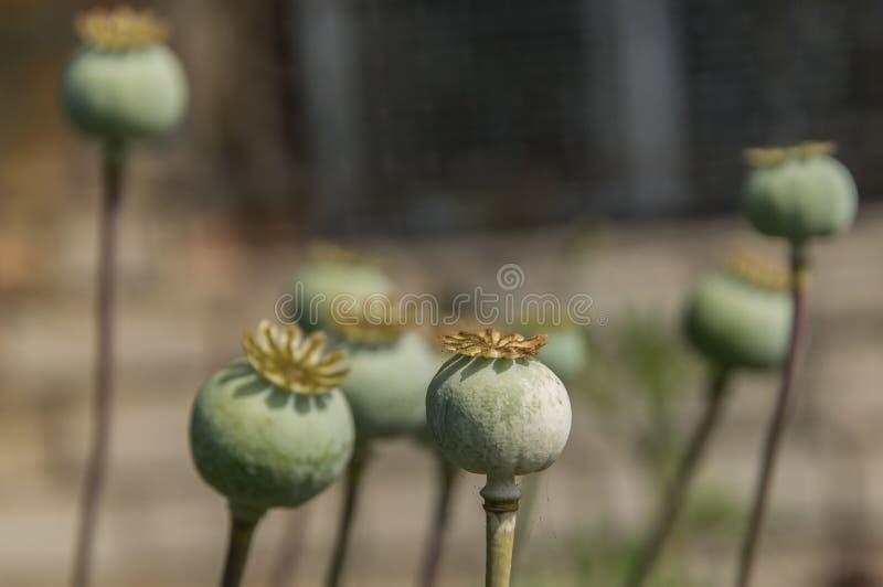 在领域的绿色未成熟的鸦片头 Imature鸦片植物特写镜头 免版税库存图片