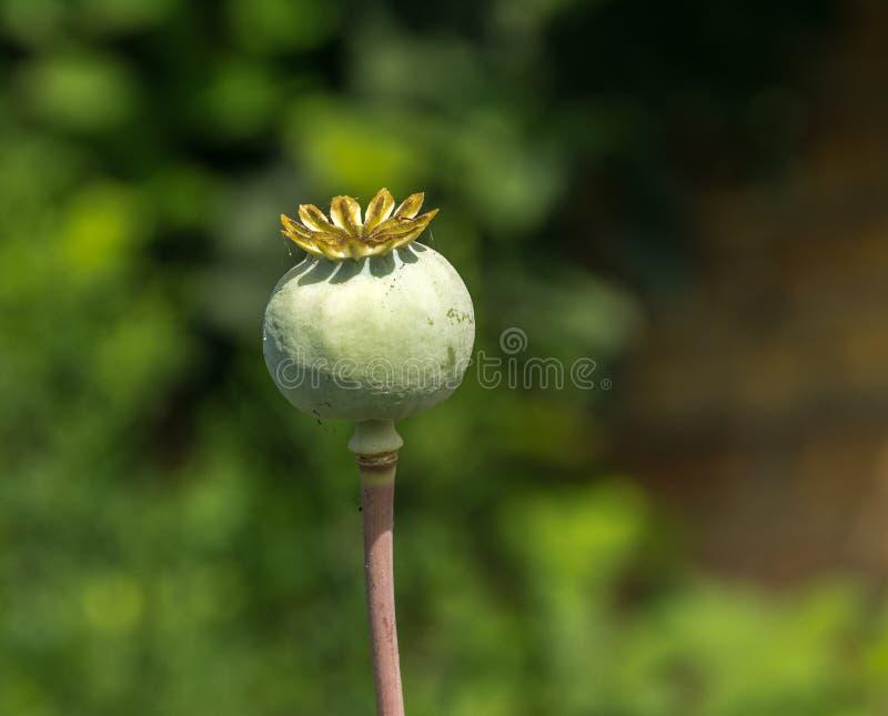 在领域的绿色未成熟的鸦片头 Imature鸦片植物特写镜头 库存图片
