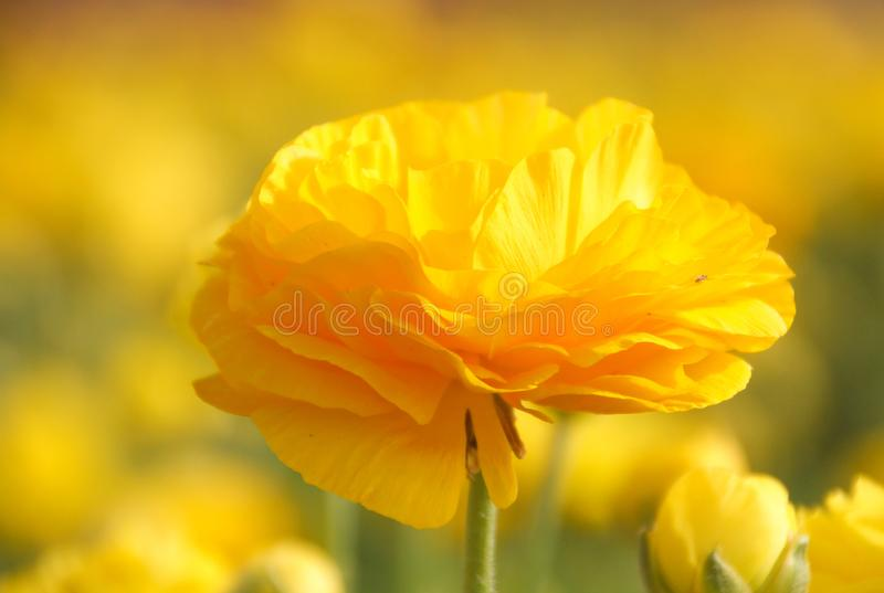 在领域的美丽的毛茛属花在明亮的黄色颜色开花 免版税图库摄影