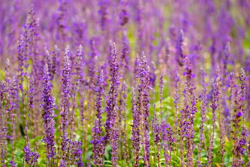 在领域的美丽的淡紫色花 自然紫罗兰色颜色Flowerin乡下 免版税库存照片