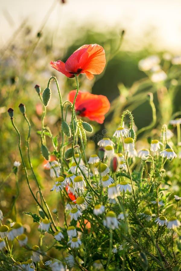 在领域的美妙的罂粟种子在日出 免版税库存图片