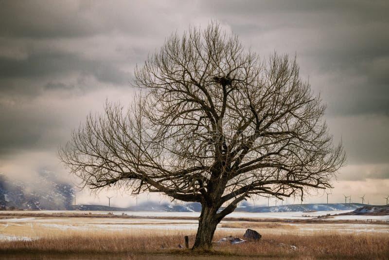 在领域的老弯曲的树与大鸟美国照相侦察卫星的巢 库存照片