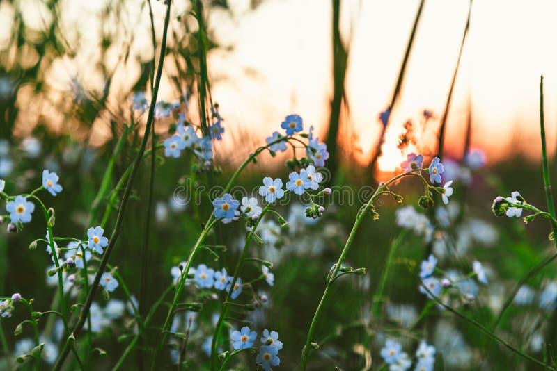 在领域的花勿忘我草在日落 图库摄影