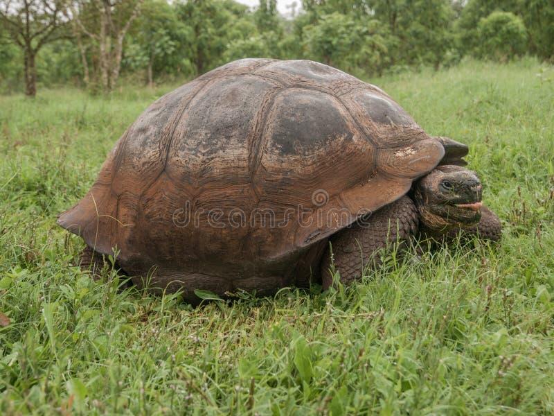 在领域的草龟 图库摄影